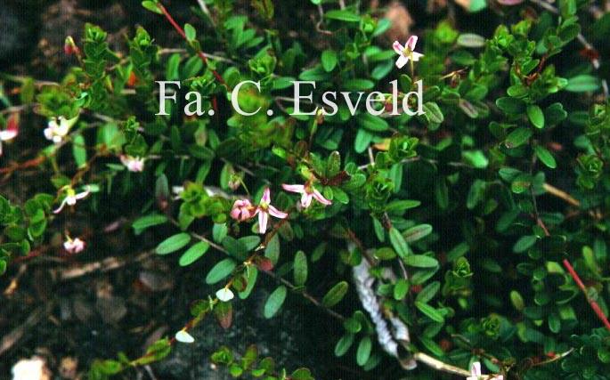 Picture and description of vaccinium macrocarpon 39 early black 39 for Vaccinium macrocarpon