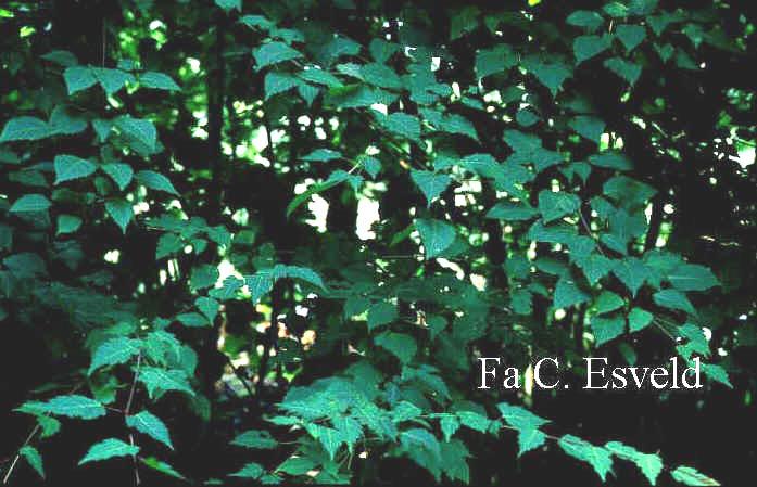 Acer stachyophyllum ssp. betulifolium