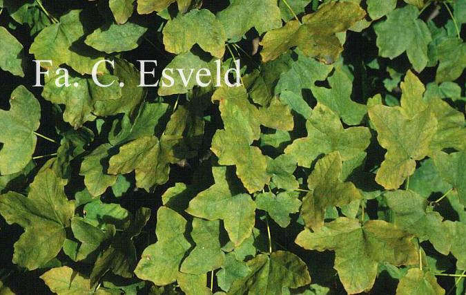 Acer pentapomicum