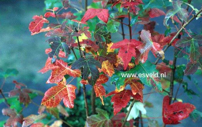 Acer pilosum stenolobum