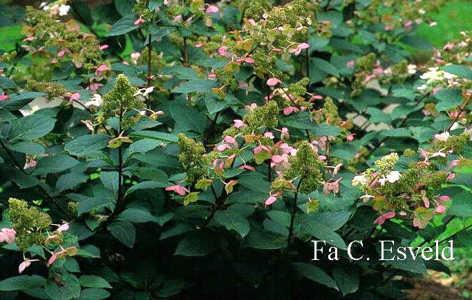Hydrangea paniculata 'Pink Diamond'