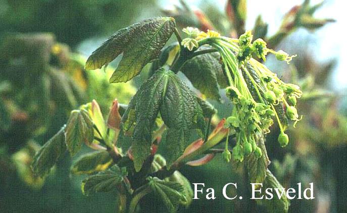 Acer hyrcanum ssp. tomentellum