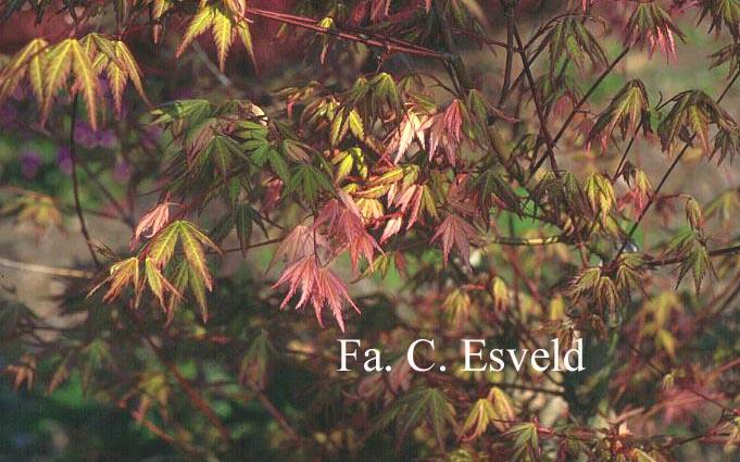 Acer palmatum 'Mai mori'