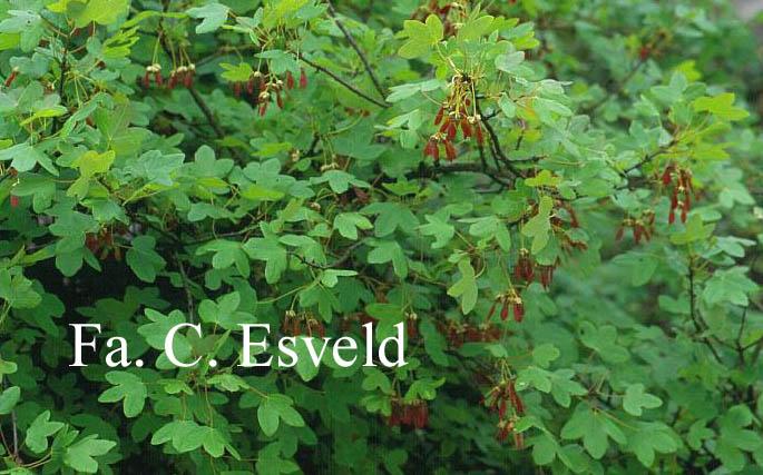 Acer monspessulanum ssp. turcomanicum