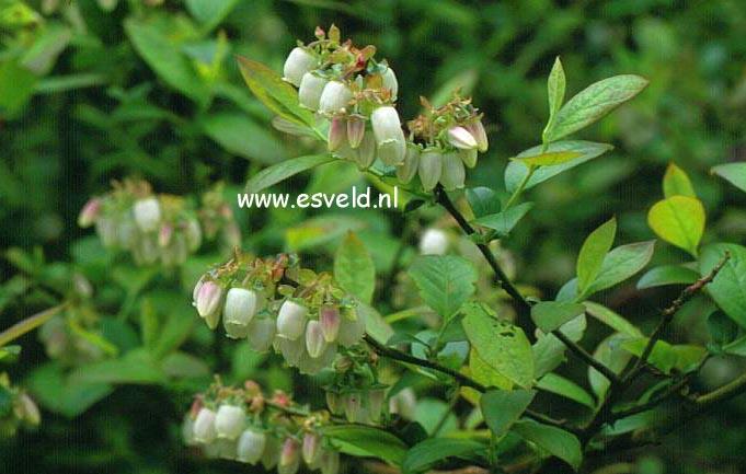 Vaccinium corymbosum 'Jersey'