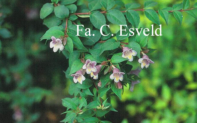 Abelia engleriana