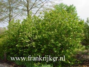 afbeeldingen en beschrijving van aronia prunifolia viking. Black Bedroom Furniture Sets. Home Design Ideas