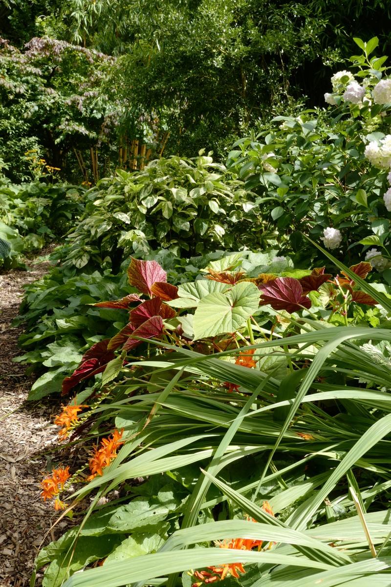 Begonia grandis 'Claret Jug'