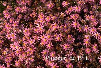 Coreopsis rosea 'American Dream'
