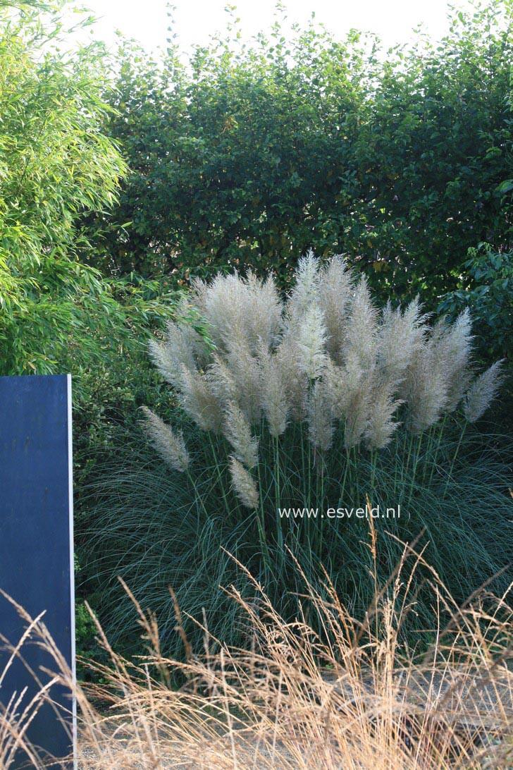 pictures and description of cortaderia selloana. Black Bedroom Furniture Sets. Home Design Ideas