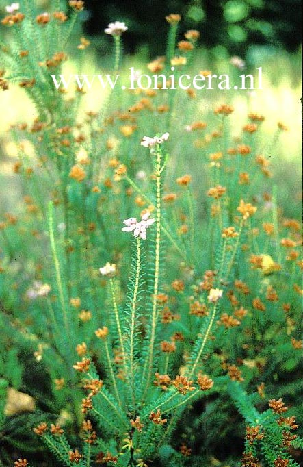 Erica ventricosa winterhart
