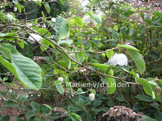 pictures and description of magnolia sieboldii ssp. Black Bedroom Furniture Sets. Home Design Ideas