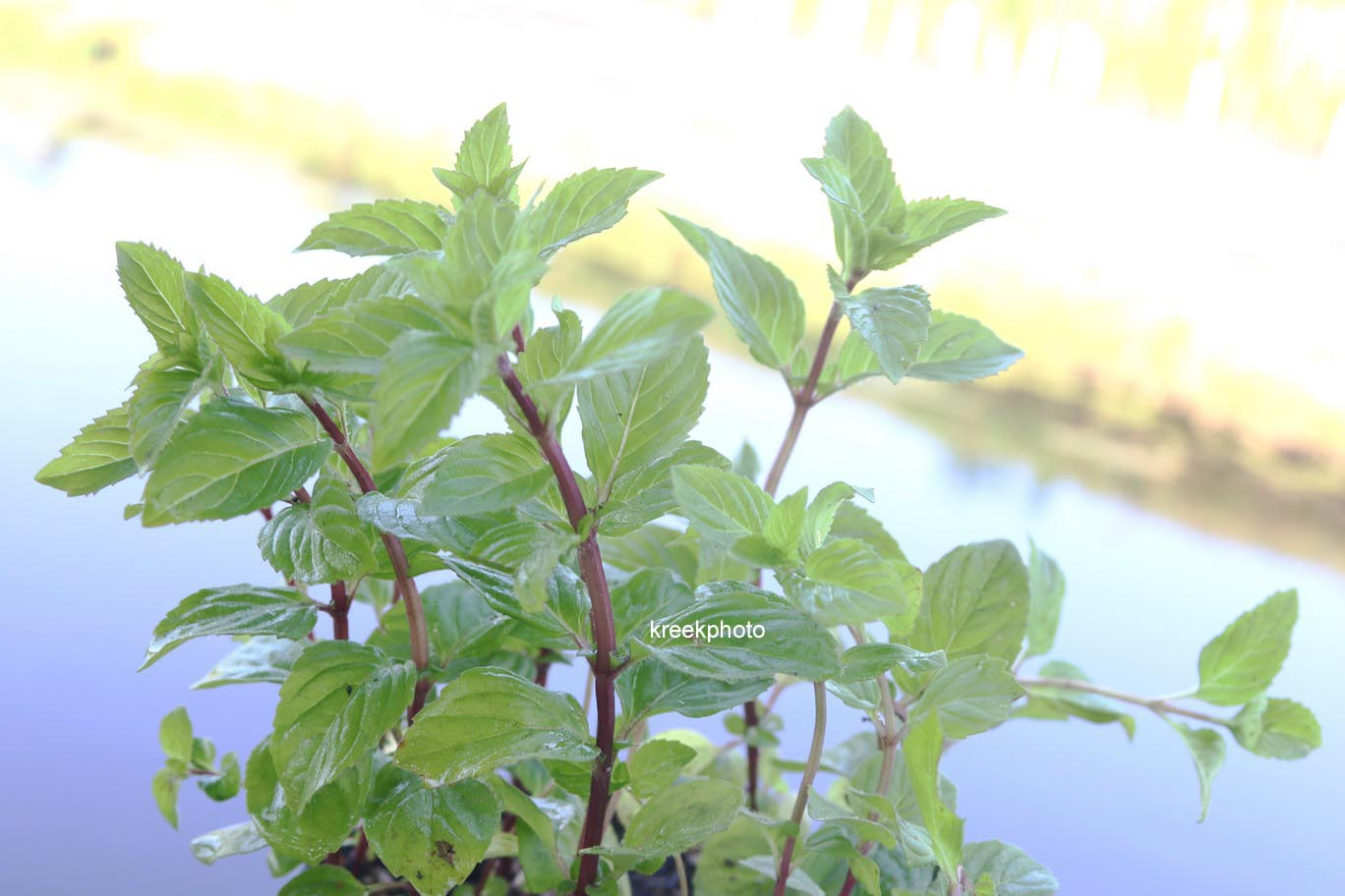 Mentha gracilis 'Ginger'
