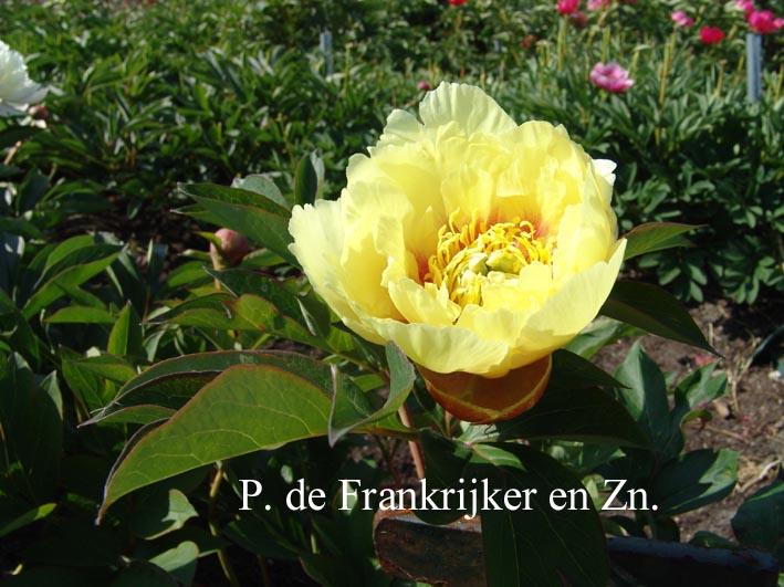 Paeonia 'Yellow Emperor' (Itoh)