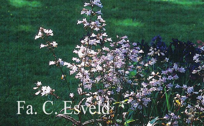 Penstemon digitalis 'Husker Red'