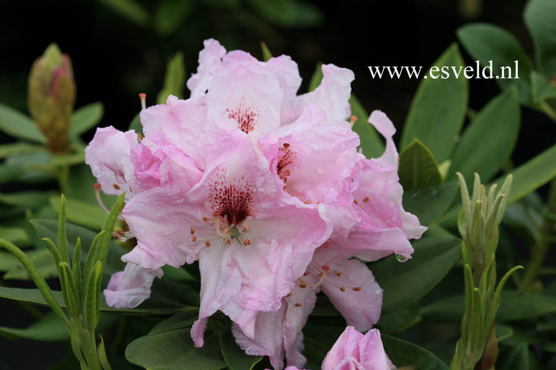 pictures and description of rhododendron ammerland. Black Bedroom Furniture Sets. Home Design Ideas