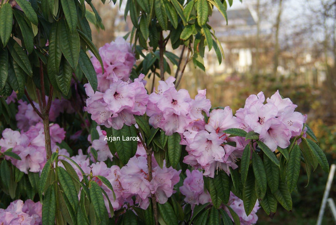 Rhododendron lukiangense