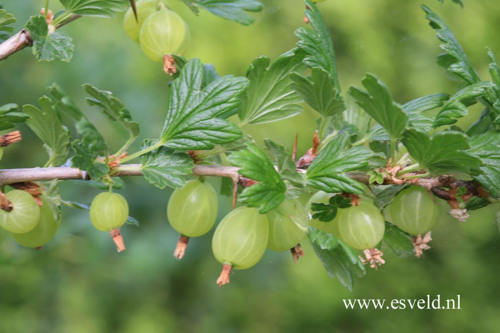 Ribes uva-crispa 'Hinnonmaen Punainen' (HINNONMAEKI ROED)