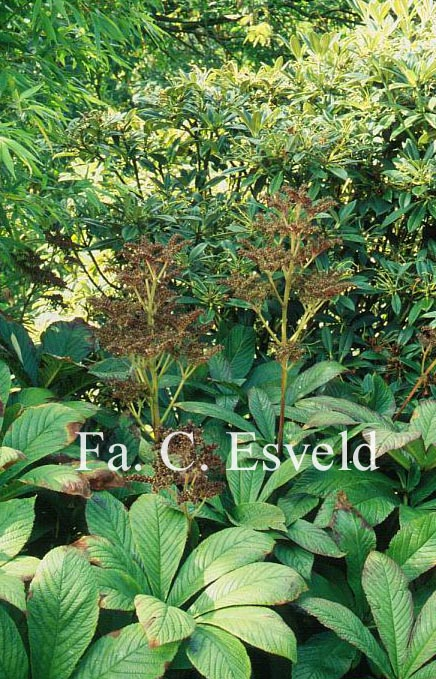 Rodgersia pinnata