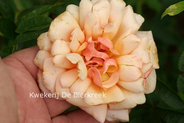 Afbeeldingen en beschrijving van rosa gruss an coburg for Rosa coburg
