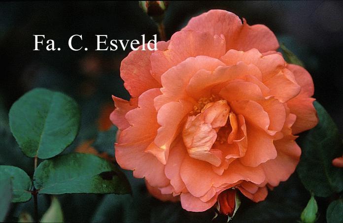 pictures and description of rosa korlawe westerland. Black Bedroom Furniture Sets. Home Design Ideas