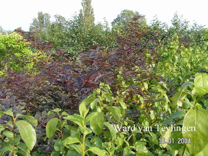 Sambucus nigra 'Thundercloud' (RED HOLY)