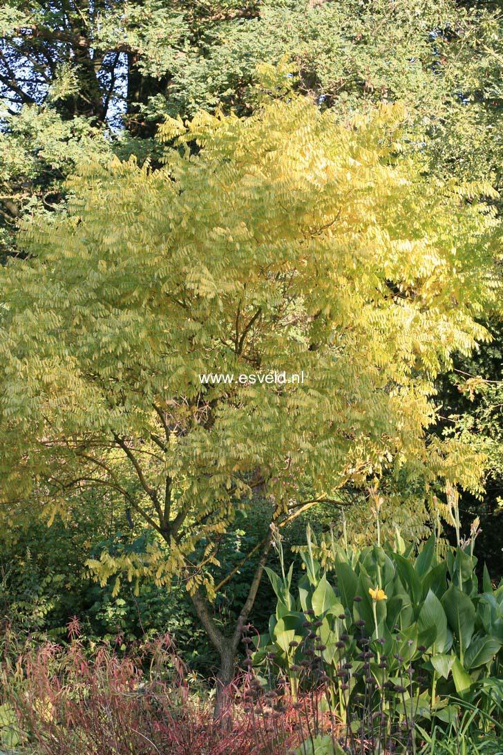 Styphnolobium japonicum 'Gold Standard'