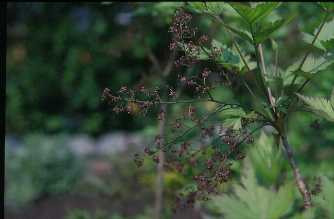 Pictures and description of xanthorhiza simplicissima for Plante xanthorhiza