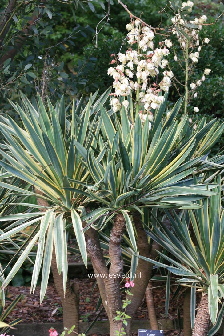 afbeeldingen en beschrijving van yucca gloriosa variegata. Black Bedroom Furniture Sets. Home Design Ideas