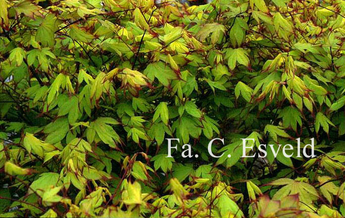 Picture and description of acer palmatum 39 tsuma gaki 39 - Plantas perennes exterior ...