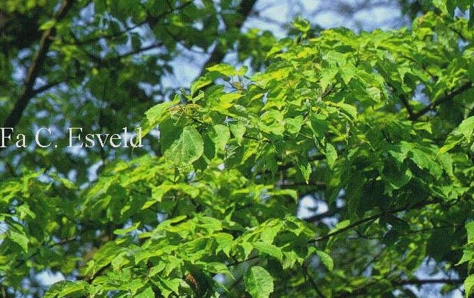 Acer pycnanthum