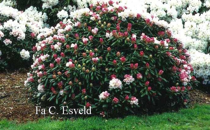 Rhododendron yakushimanum