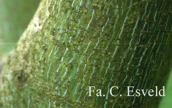Acer tschonoskii