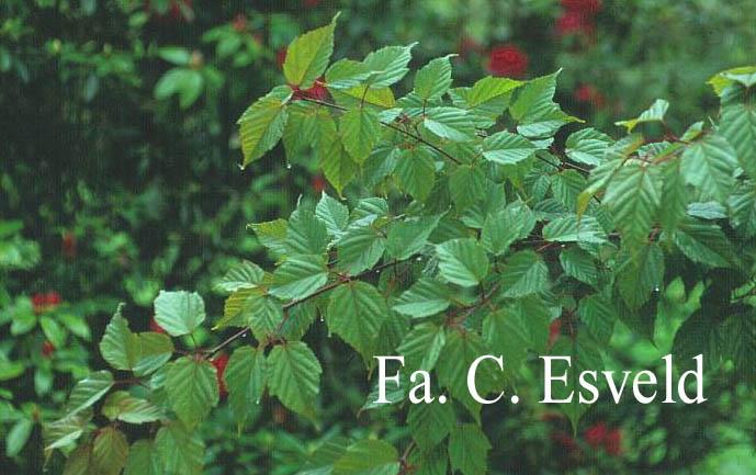 Acer morifolium
