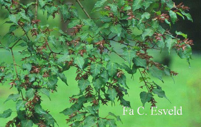 Acer crataegifolium