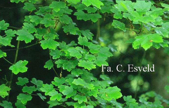 Acer hyrcanum