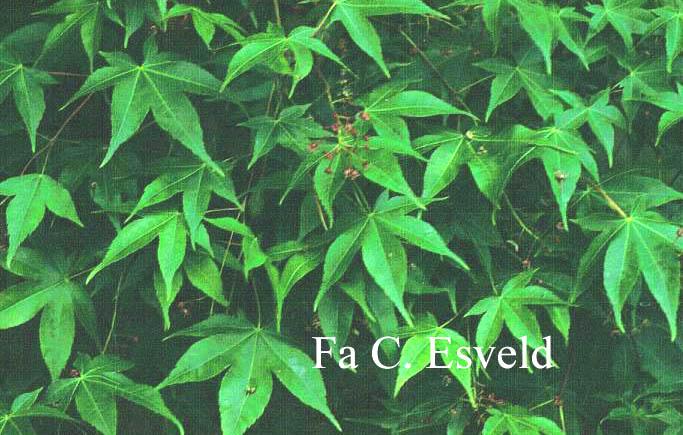 Acer campbellii ssp. flabellatum yunnanense