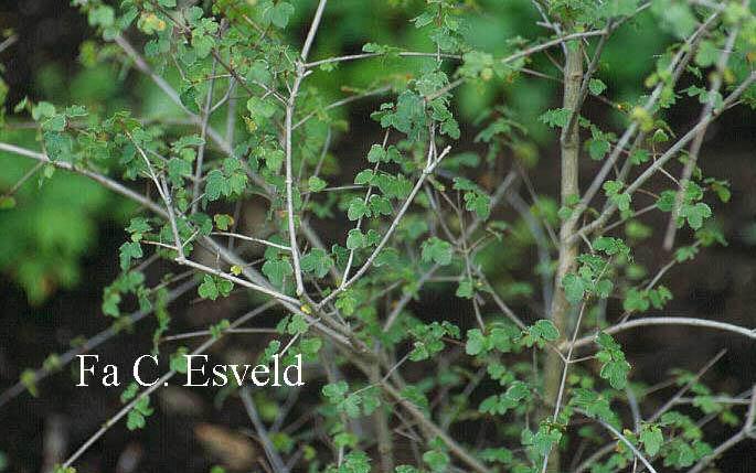 Acer hyrcanum ssp. reginae-amaliae