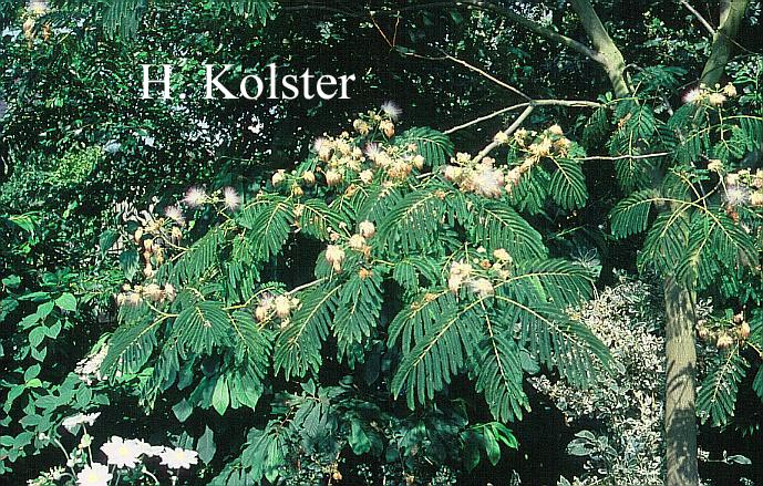 Pictures and description of Albizia julibrissin Rosea   www esveld nl