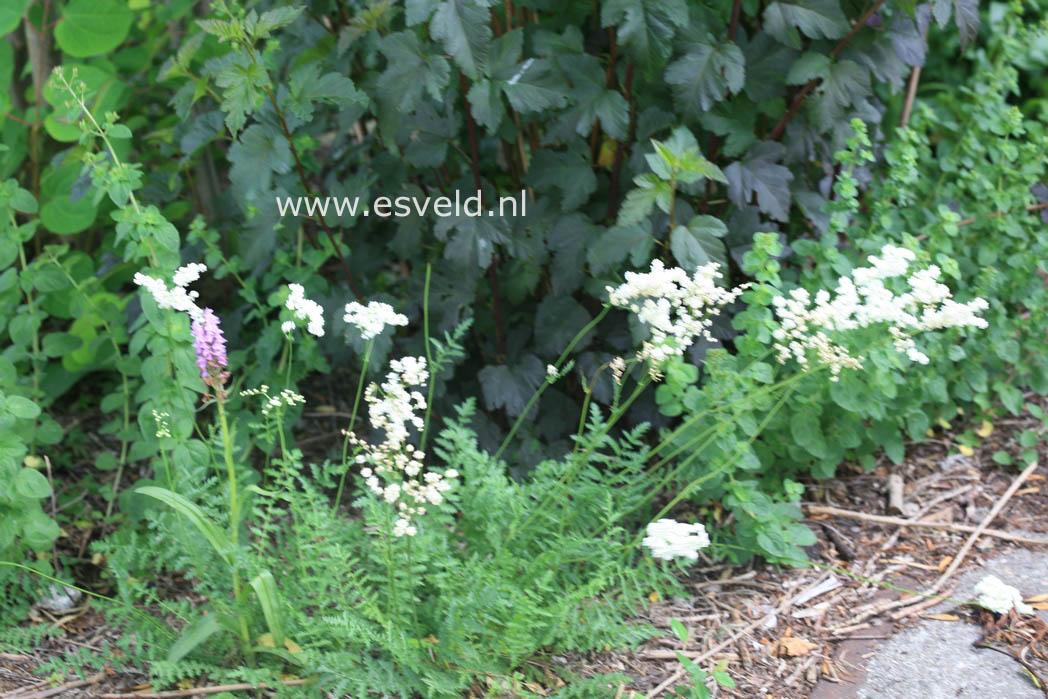 Aruncus dioicus 'Kneiffii'