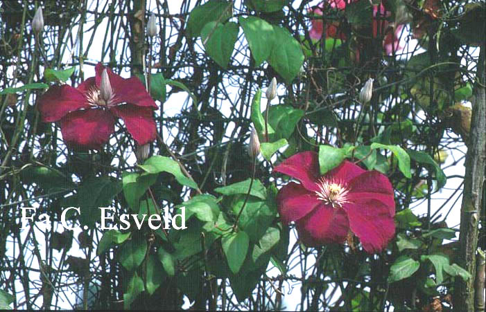 pictures and description of clematis rouge cardinal www. Black Bedroom Furniture Sets. Home Design Ideas