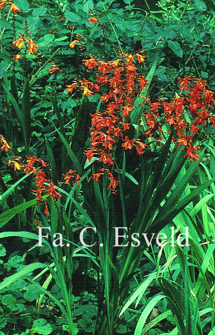 Crocosmia 'Lucifer'
