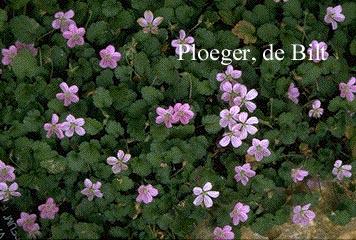 Erodium variabile 'Roseum'