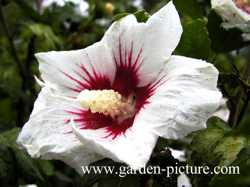 pictures and description of hibiscus syriacus monstrosus. Black Bedroom Furniture Sets. Home Design Ideas