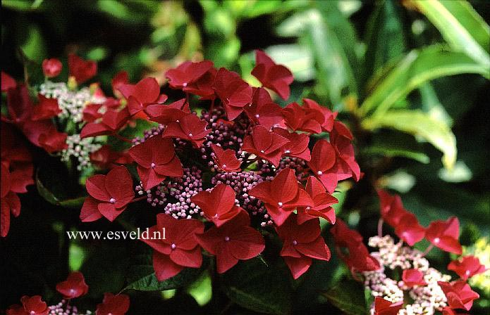 Pictures And Description Of Hydrangea Macrophylla Lady In