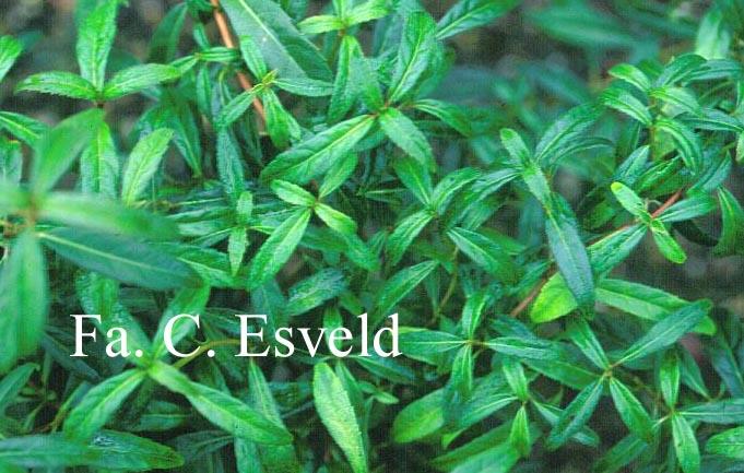 Hydrangea scandens 'Macrosepala'