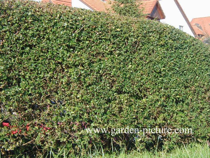 pictures and description of ligustrum vulgare atrovirens. Black Bedroom Furniture Sets. Home Design Ideas