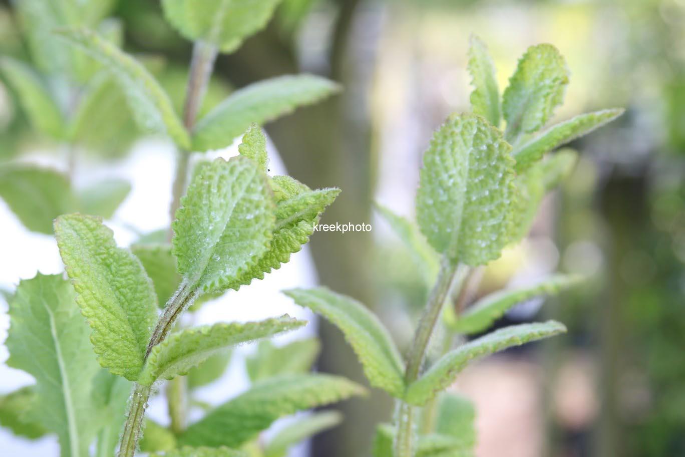 Mentha suaveolens 'Apfel'