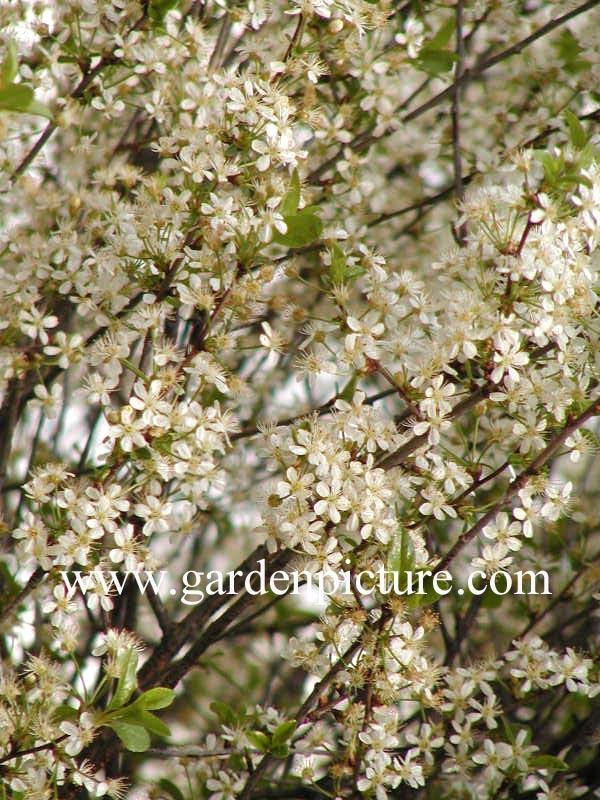 afbeeldingen en beschrijving van prunus fruticosa globosa. Black Bedroom Furniture Sets. Home Design Ideas