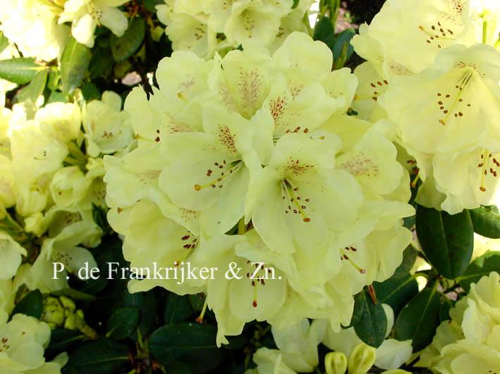 afbeeldingen en beschrijving van rhododendron goldkrone. Black Bedroom Furniture Sets. Home Design Ideas